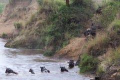 Wielka migracja w akci Wildebeest skacze od falezy w rzekę Kenja, Afryka fotografia stock