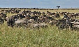 Wielka migracja w Masai Mara Zdjęcie Royalty Free