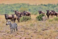 Wielka migracja w Masai Mara Obrazy Stock