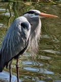 wielka niebieska heron Zdjęcia Royalty Free