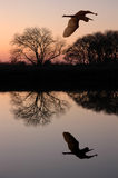 wielka niebieska heron Fotografia Stock