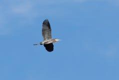wielka niebieska heron zdjęcie stock