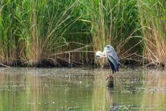 wielka niebieska heron Zdjęcie Royalty Free