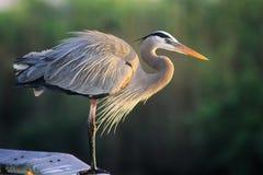 wielka niebieska heron fotografia royalty free