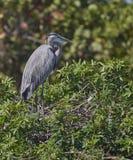 wielka niebieska heron Obrazy Royalty Free