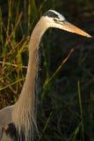 wielka niebieska heron głowy Zdjęcia Stock