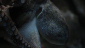Wielka ośmiornica gapi się przy fotografem zbiory