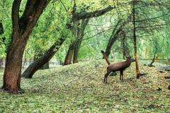 Wielka ogoniasta jelenia pozycja blisko drzewnego, ładnego jesień plecy, obrazy stock