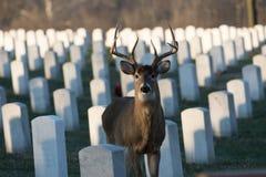 Wielka ogoniasta samiec w cmentarzu Zdjęcie Stock