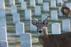Wielka ogoniasta samiec w cmentarzu Fotografia Royalty Free