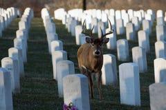Wielka ogoniasta samiec w cmentarzu Zdjęcia Stock