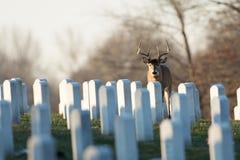 Wielka ogoniasta samiec w cmentarzu Zdjęcia Royalty Free