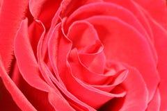 wielka pączkowa czerwona róża Fotografia Stock