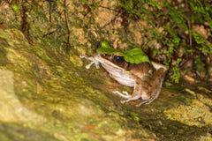 Wielka Pachnąca żaba Zdjęcia Stock