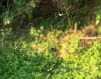 Wielka pająk sieć z żółtym i czarnym ogrodowym pająkiem Obrazy Stock