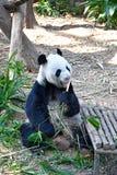 Wielka panda Kai Kai przy Rzecznym safari Singapur Fotografia Royalty Free