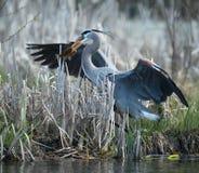 wielka połowowego heron niebieski Obrazy Stock