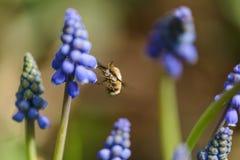 Wielka pszczoły komarnica Fotografia Royalty Free