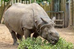 wielka rogata jeden nosorożec Zdjęcie Stock