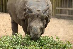 wielka rogata jeden nosorożec Zdjęcia Royalty Free