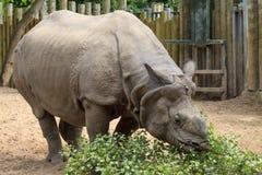 wielka rogata jeden nosorożec Zdjęcie Royalty Free