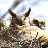 Wielka Rogata sowa i owlet Fotografia Stock