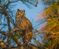 Wielka rogata sowa podczas zmierzchu siedzi w drzewie Obrazy Stock