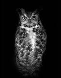 Wielka rogata sowa, znać swój naukowym imię dymienicy virginianus, odizolowywającym na ciemnym tle w czarny i biały Fotografia Royalty Free