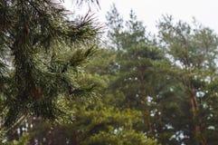 Wielka sosna rozgałęzia się z kroplami woda po wiosna deszczu Obrazy Stock