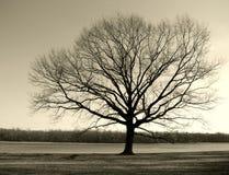wielka stara river drzewna zimy. Obraz Stock