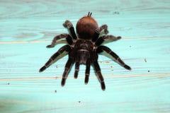 Wielka tarantula na pięknym tle zdjęcie royalty free