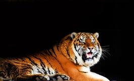 Wielka tygrysia samiec na czarnym tle fotografia stock