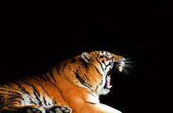 Wielka tygrysia samiec na czarnym tle obraz stock