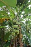 Wielka wiązka zieleni banany na drzewku palmowym z bananem opuszcza w tropikalnym lesie deszczowym obraz royalty free