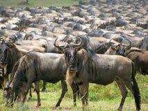 Wielka wildebeest migracja w Tanzania Zdjęcie Royalty Free