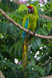 Wielka zielona ara - arony Ambiguus Fotografia Royalty Free