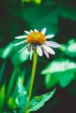 Wielka zielona ściga na kwiacie Obrazy Stock