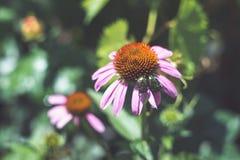 Wielka zielona ściga na kwiacie Obrazy Royalty Free