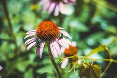 Wielka zielona ściga na kwiacie Fotografia Royalty Free