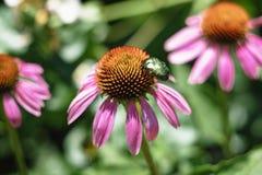 Wielka zielona ściga na kwiacie Zdjęcia Stock