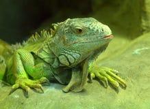 wielka zielona jaszczurka Zdjęcia Royalty Free