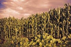 Wielka zielonej kukurudzy łąka Zdjęcia Royalty Free