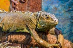 Wielka zwyczajna iguana w górę obsiadania za szkłem na gałąź zdjęcia stock