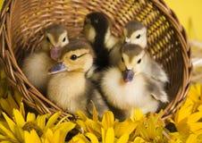 Wielkanoc kaczki Obraz Royalty Free