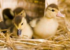 Wielkanoc kaczki Obraz Stock