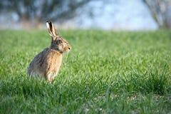 Wielkanoc królik Zdjęcia Royalty Free
