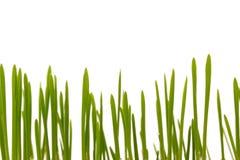 Wielkanocna trawa, kot trawa Zdjęcia Royalty Free