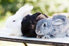 Wielkanocnego królika pojęcie 3 małego ślicznego szarego czarnego białego królika, puszyści zwierzęta domowe na białym tle miękka zdjęcia stock