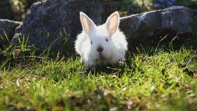 Wielkanocny biały królik na zielonej trawie w wiośnie zbiory wideo