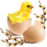 Wielkanocny dziecka kurczątko klujący się Obrazy Royalty Free